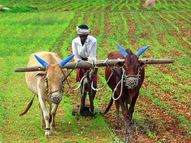 DAP खाद की होने लगी किल्लत; मांग के अनुरूप उपलब्ध नहीं होने से काश्तकारों को हो रही परेशानी, आने वाले दिनों में बढेगी दिक्कत|राजस्थान,Rajasthan - Money Bhaskar