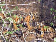 3 साल में प्रदेश में बढ़ गए 33 बाघ, बाघों का गढ़ बना राजस्थान, लेकिन एक भी टाइगर रिजर्व नहीं बढ़ा सकी सरकार|राजस्थान,Rajasthan - Money Bhaskar