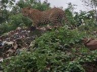 खुरई रोड पर हफसिली कचरा प्लांट में दिखा तेंदुआ, प्लांट से लगे रहवासी इलाके में दहशत|सागर,Sagar - Money Bhaskar
