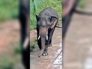 दंतैल हाथी खुर्सीटिकुर गांव की गलियों में घुमा, बाड़ी में लगी सब्जियां खा गया|बालोद,Balod - Money Bhaskar
