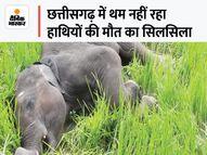 बालोद में मिला हाथी के 4 साल के बच्चे का शव, कुछ दिन पहले घायल भी हुआ था; 24 दिन पहले 7 महीने के बच्चे की मौत हुई थी|बालोद,Balod - Money Bhaskar