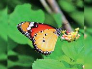 हाथीपावा की पहाड़ियों पर 17 प्रजातियों की तितलियों का डेरा झाबुआ,Jhabua - Money Bhaskar
