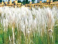 कांस के फूल बारिश की विदाई के संकेत, रांची का तापमान 8 डिग्री गिरा, हल्की बारिश के आसार रांची,Ranchi - Money Bhaskar