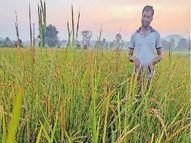 धान की फसल पर बमा का प्रकोप; पौधों का पोषण चूस रहे कीट, नहीं फूटेंगी बालियां|छत्तीसगढ़,Chhattisgarh - Money Bhaskar