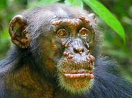 पश्चिम अफ्रीका के जंगली चिम्पैंजियों को हुआ कुष्ट रोग, चेहरे पर दिखीं गांठें; इंसान के मुकाबले इनके लक्षण ज्यादा गंभीर लाइफ & साइंस,Happy Life - Money Bhaskar
