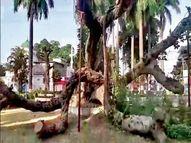 बरगद की सेहत को लेकर चिंतित हैं पर्यावरण प्रेमी, पिछले साल बिजली गिरने से गिर गया था|भोपाल,Bhopal - Money Bhaskar