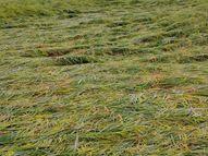 तेज हवा और मूसलधार बारिश से खेतों में खड़ी धान की फसल बिछी, बोई सरसों के बीज गले|शिवपुरी,Shivpuri - Money Bhaskar
