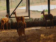 नाहरगढ़ के बायो पार्क में शामिल हुए चार नए सदस्य, क्वारंटाइन पीरियड में है चौसिंगा|जयपुर,Jaipur - Money Bhaskar