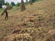 रातभर में हुई 13MM बारिश, खेतों में कटी रखी फसलें हुई खराब, सरसों की बुवाई में देरी|टोंक,Tonk - Money Bhaskar