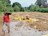 खेतों में धान आड़ी, किसानों को बासमती पर 6 हजार व क्रांति पर 4 हजार रुपए प्रति एकड़ तक नुकसान होशंगाबाद,Hoshangabad - Money Bhaskar