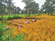 इस बार 1.21 लाख हैक्टेयर पर रबी की बुवाई का लक्ष्य, सलूंबर में सबसे ज्यादा 20700 में उदयपुर,Udaipur - Money Bhaskar