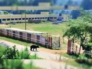 दो तेंदुओं ने दिन में ही मवेशियों के झुंड पर हमला कर गाय को मारा, इधर डुमाली स्कूल में घुसा भालू|कांकेर,Kanker - Money Bhaskar