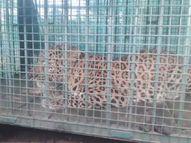 धमतरी में पकड़ा गया 2 साल का तेंदुआ, 5 महीने में 3 बच्चों का किया था शिकार; घने जंगल में छोड़ा गया धमतरी,Dhamtari - Money Bhaskar