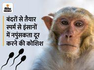 बंदर की स्टेम कोशिकाओं से तैयार किया गया स्पर्म, इंसानों पर इसका इस्तेमाल किया जा सकेगा, जानिए इसे कैसे बनाया लाइफ & साइंस,Happy Life - Money Bhaskar