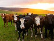 गाय और सूअरों के ब्लड में मिल रहे प्लास्टिक के कण, इंसानों तक इनके पहुंचने का खतरा; जानिए ये कैसे बने लाइफ & साइंस,Happy Life - Money Bhaskar