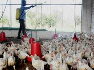 परभणीत 80 हजार कोंबड्या मारणार, पशुसंवर्धन मंत्री सुनील केदारांनी दिली माहिती|औरंगाबाद,Aurangabad - Divya Marathi