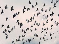 परदेशी पक्ष्यांनी आणला परभणीमध्ये 'बर्ड फ्लू', रहाटी बंधाऱ्यावरील स्थलांतरित पक्ष्यांमुळे शिरकाव|औरंगाबाद,Aurangabad - Divya Marathi