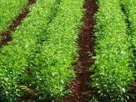 तुती रेशीम पिकाला आता कृषी पीक म्हणून मान्यता, शेतकऱ्यांना पीक विमा, कर्ज, भरपाई, अनुदानाचे लाभ मिळणार|औरंगाबाद,Aurangabad - Divya Marathi