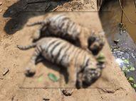 भंडाऱ्यात वाघाचे दोन बछडे मृतावस्थेत आढळले, दोन महिन्यांचे आहेत दोन्हीही मादी बछडे|नागपूर,Nagpur - Divya Marathi