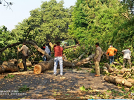 મૃત પક્ષીઓ મળ્યા એ વડના વૃક્ષની ડાળીઓ જંગલખાતાએ દૂર કરાવી|સંખેડા,Sankheda - Gujarati News