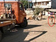 અંકલેશ્વરમાં વાછરડાને જન્મ આપીને ગાયનું મૃત્યુ થયું, માતાના મૃતદેહને લઇ જતા ટેમ્પોને વાછરડાએ રોક્યો, કર્મચારીઓએ હટાવીને પરાણે અંતિમવિધિ કરી|ભરૂચ,Bharuch - Gujarati News