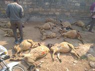 નાની ભગેડીમાં 80 ઘેટા-બકરાના મોત|જામનગર,Jamnagar - Gujarati News