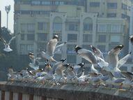 5 હજાર કિમી દુરથી આવતા સાઇબેરીયન સીગલ પક્ષીઓ શિયાળામાં સુરતના મહેમાન|સુરત,Surat - Gujarati News