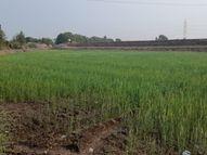 ભાલિયા ઘઉં, ચણાનું વાવેતર ઘટ્યું, ખેડૂતો અન્યત્ર વળ્યા|બોટાદ,Botad - Divya Bhaskar