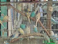 બર્ડ ફ્લુની ભીતિ વચ્ચે જાહેર માર્ગો ઉપર ભરાય છે પક્ષી બજાર, તપાસ વગર ખરીદ-વેચાણથી જોખમ|સુરત,Surat - Divya Bhaskar