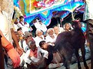ચોટીલાના ભેટસુડા ગામેશ્રદ્ધાના નામે 1પાડો અને30બોકડાની બલિ અપાઇ|સુરેન્દ્રનગર,Surendranagar - Divya Bhaskar