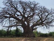 કતપોર ગામમાં 'બાઓબાબ' હેરિટેજ વૃક્ષ આજે પણ હયાત, 500 વર્ષ પહેલાં અરબના વેપારી ભારતમાં લાવ્યા હતા અંકલેશ્વર,Ankleshwar - Divya Bhaskar