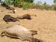 બનાસકાંઠાના વાવના ચાંદરવા ગામમાં પશુઓને ઝેરી અસર થતા 24 ગાયોના મોત, પશુપાલક પર આભ ફાટ્યું|પાલનપુર,Palanpur - Divya Bhaskar