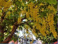 કોઇ જાદુઇ વૃક્ષથી ઓછુ નથી અમલતાસ, આરોગ્ય તથા ત્વચા માટે ખૂબજ ફાયદાકારક|નવસારી,Navsari - Divya Bhaskar