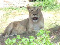 સુરતના પ્રાણી સંગ્રહાલયમાં વાઘ,સિંહ, શિયાળ, વાંદરા જેવા પ્રાણીઓ કોરોનાગ્રસ્ત ન થાય તે માટે વિશેષ વ્યવસ્થા|સુરત,Surat - Divya Bhaskar