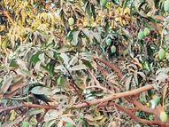 અબાડસામાં દેશી કેરીનું બજારમાં આગમન થતાં ગૃહિણીઓ અથાણાં બનાવવામાં વ્યસ્ત|ભુજ,Bhuj - Divya Bhaskar