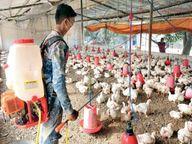वायरस की जद में 32 जिले, झाबुआ, हरदा, मंदसौर जिलों में मुर्गियों में संक्रमण की पुष्टि|भोपाल,Bhopal - Dainik Bhaskar