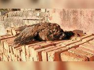 अकबई बड़ी में मोर और डबरा में कबूतर की मौत, दोनों के सैंपल जांच को भेजे|डबरा,Dabra - Dainik Bhaskar