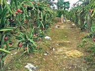 ड्रैगन फ्रूट से कोसी-सीमांचल के किसानों को एक एकड़ में 14 लाख तक कमाई|भागलपुर,Bhagalpur - Dainik Bhaskar