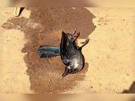 नकुलनार में कबूतर की मौत के बाद नहीं पहुंची टीम, बाबूपारा में मृत कौए का सैंपल लिया गया|बस्तर,Bastar - Dainik Bhaskar