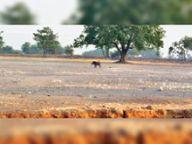 जंगली सुअर फसलों काे पहुंचा रहे हैं नुकसान, किसानों की बढ़ी परेशानी उपरवाह,Uparvah - Dainik Bhaskar