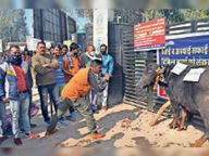 4 दिन से नहीं हुआ गंदगी का उठाव, सफाई कर्मचारियों ने गंगासिंह चाैक पर भैंस बांधी, बीन बजाकर जताया आक्राेश|श्रीगंंगानगर,Sriganganagar - Dainik Bhaskar