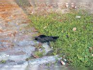 सेल इलाके में दो काैए मृत मिले- जांच के लिए भेजा सैंपल, बर्ड फ्लू की दहशत; अब तक राज्य में एक भी केस नहीं|रांची,Ranchi - Dainik Bhaskar