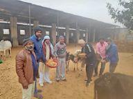 पिता के मौसर पर पुत्रों और परिजनों ने गायों को लापसी व गुड़ खिलाया|नागौर,Nagaur - Dainik Bhaskar