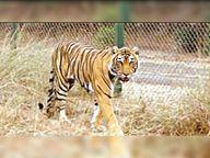 अकेले टाइगर स्ट्रेस में आते हैं; उम्र कम हो जाती है, बाघिन को अकेला रखना जिंदा मारने जैसी स्थिति कोटा,Kota - Dainik Bhaskar