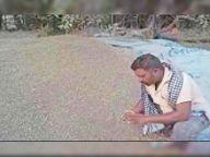डायबिटीज में फायदा समझ आया, आसपास नहीं मिला काला गेहूं ताे खुद 4 एकड़ खेत में उगाया 80 क्विंटल|होशंगाबाद,Hoshangabad - Dainik Bhaskar