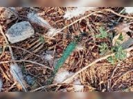 दूसरे दिन भी किया शिकार, वन मंडल नहीं लगा पा रहा है अंकुश|कोटा,Kota - Dainik Bhaskar