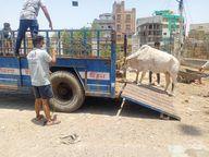 नगर परिषद दस्ते ने मशक्कत के बाद पकड़ी गाय, चपेट में आए कुछ पैदल यात्री|बांसवाड़ा,Banswara - Dainik Bhaskar