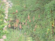 हाफ नदी के किनारे में बबूल के पेड़ पर बया पक्षियों ने बनाया अपना आशियाना पंडरिया,Pandriya - Money Bhaskar