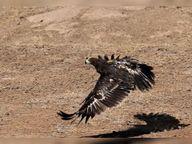 સાસણમાં પક્ષીઓને સૂર્યશક્તિથી ચાલતા ટ્રાન્સમિટર લગાવાયા; ઇગલ, હેરિયરની ઇકોલોજીને સમજવા માટે ખાસ પ્રોજેક્ટ શરૂ|તાલાલા,Talala - Divya Bhaskar
