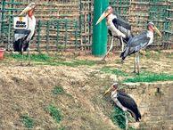 दुनिया में 1800 गरुड़, इनमें 600 हमारे पास; पक्षीराज के संरक्षण में दुनिया में तीसरे स्थान पर बिहार|भागलपुर,Bhagalpur - Dainik Bhaskar